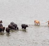 Cattle Sale ban