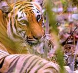 Bangladesh Sundarbans, Tigers