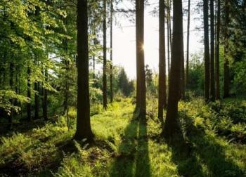 Kashmiri forest