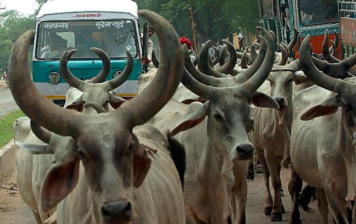 Ban on  Sale of Cattle